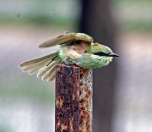 Bee eater about to take off
