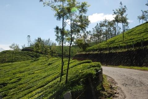 tea gardens view 1