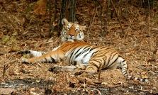 Sleeping Tigress 1 by Pradeep Chamaria, 9015614319
