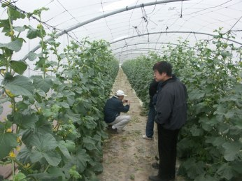 melon_greenhouse_israel_2